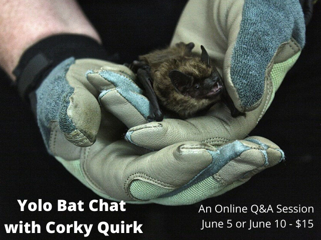 Yolo Bat Chat with Corky Quirk